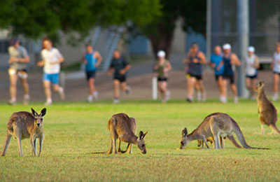 Kangaroos at the Rockhampton campus.