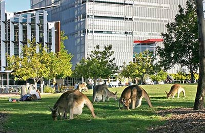 Kangaroos on campus.